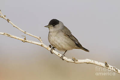 Blackcap Photograph - Male Eurasian Blackcap by Eyal Bartov