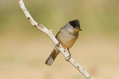 Blackcap Photograph - Male Eurasian Blackcap Sylvia Atricapilla by Photostock-israel