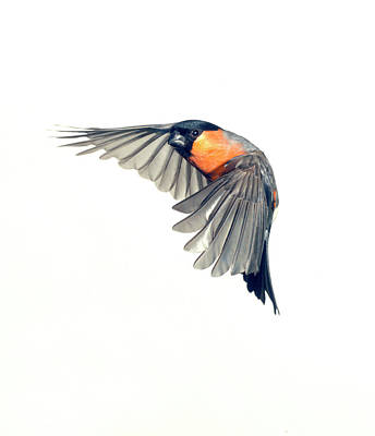 Bullfinch Wall Art - Photograph - Male Eurasian Bullfinch by Natural History Museum, London/science Photo Library