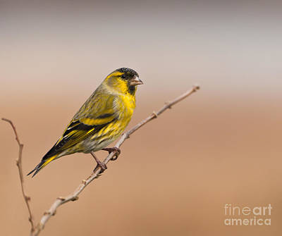 Art Print featuring the photograph Male Eurasian Siskin by Liz Leyden