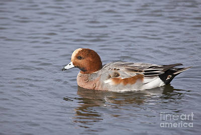 Duck Photograph - Male Eurasian Wigeon  Anas Penelope by Liz Leyden