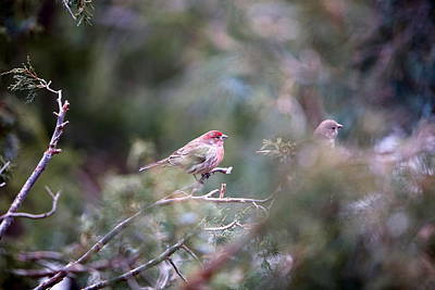 Photograph - Male-female House Finch by Floyd Tillery