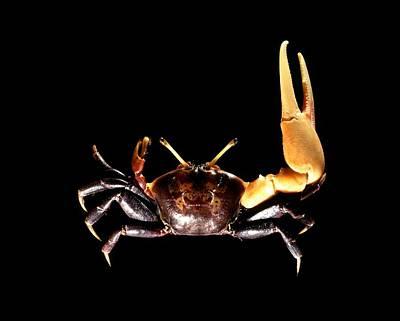 Male Fiddler Crab Art Print