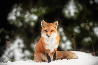 Photograph - Male Fox by Robert Clifford