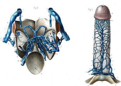 Male Genitals Blood Supply Art Print