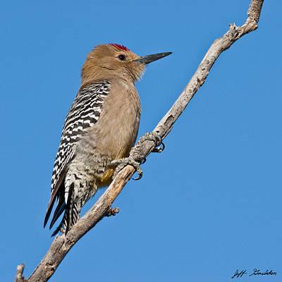 Male Gila Woodpecker Art Print