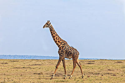 Photograph - Male Giraffe Making An Entrance by Perla Copernik