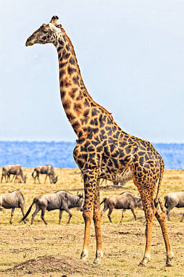 Photograph - Male Giraffe Posing  by Perla Copernik