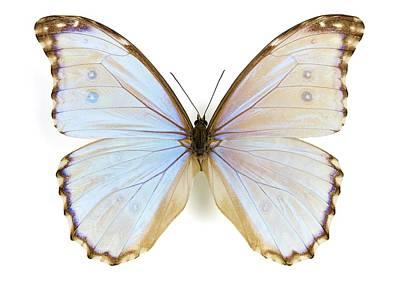 Morpho Wall Art - Photograph - Male Godart's Morpho Butterfly by Pascal Goetgheluck/science Photo Library