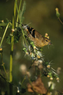 Male Goldfinch In Fall Print by Paul J. Fusco
