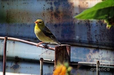 Male Goldfinch Original