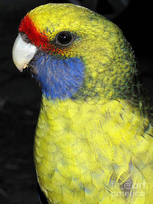 Photograph - Male Green Rosella Parrot by Peter Skinner