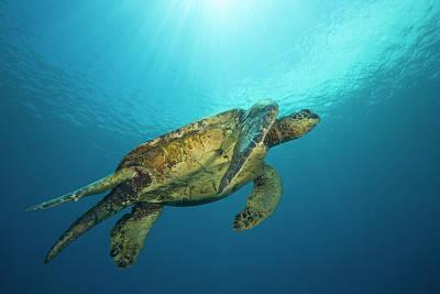 Green Sea Turtle Photograph - Male Green Sea Turtles  Chelonia Mydas by Dave Fleetham