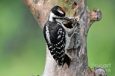 Hairy Woodpecker Photograph - Male Hairy Woodpecker by Charles Trinkle