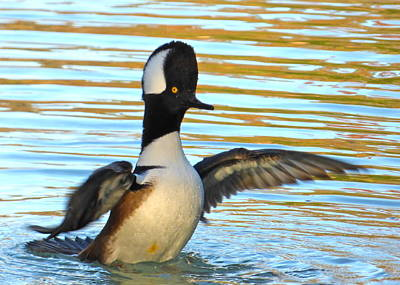 Photograph - Male Hooded Merganser by Jean Wright