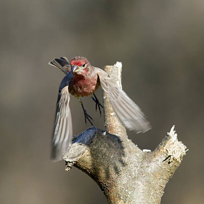 Photograph - Male House Finch Flight by David Lester