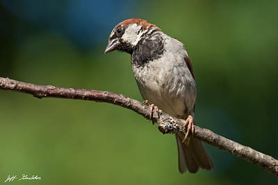 Male House Sparrow Perched In A Tree Art Print by Jeff Goulden