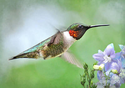 Photograph - Male Hummingbird Hovering Over Lavender Lapspar Flowers by Kathy Baccari