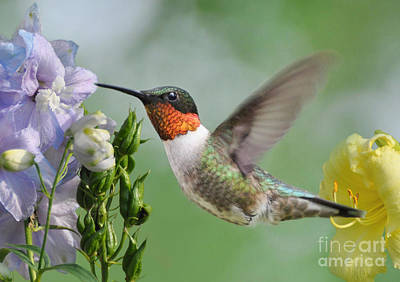 Photograph - Male Hummingbird by Kathy Baccari