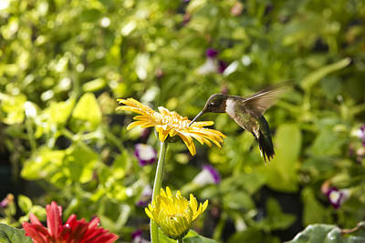 Photograph - Male Hummingbird On Yellow Daisy by Robert Camp