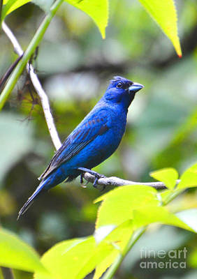 Photograph - Male Indigo Bunting by Kathy Baccari
