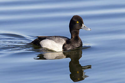 Photograph - Male Leser Scaup by Doug Lloyd