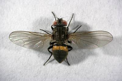 Housefly Wall Art - Photograph - Male Lesser House Fly by Power And Syred