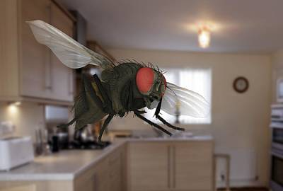 Housefly Wall Art - Photograph - Male Lesser Housefly In Flight, Sem by Power And Syred