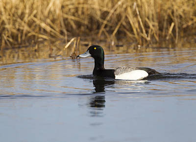 Photograph - Male Lesser Scaup by Doug Lloyd