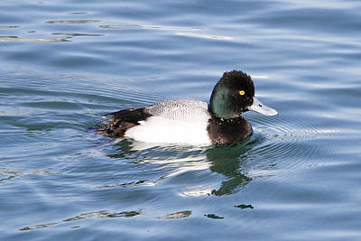 Male Lesser Scaup Art Print by Shoal Hollingsworth