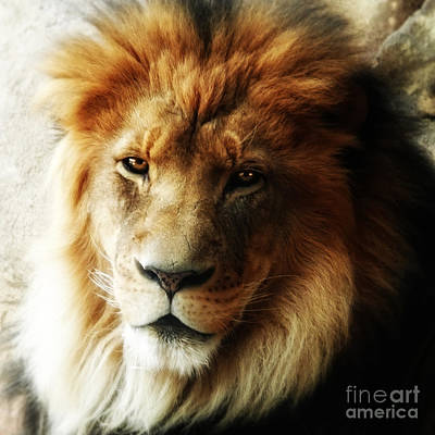 Male Lion Face Close Up Art Print