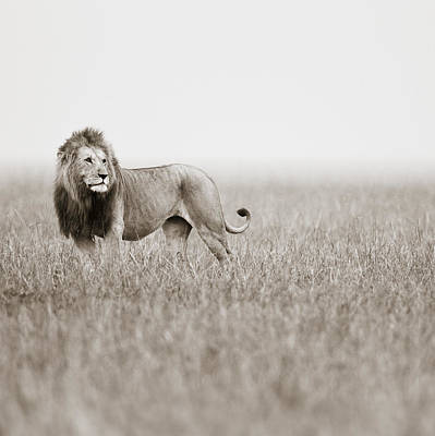 Male Lion II Masai Mara Kenya Art Print by Regina Mueller