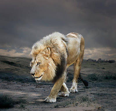 Photograph - Male Lion In Naturalistic Setting by Ed Freeman