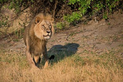 Male Lion On Lookout, Intense Look Art Print by Sheila Haddad