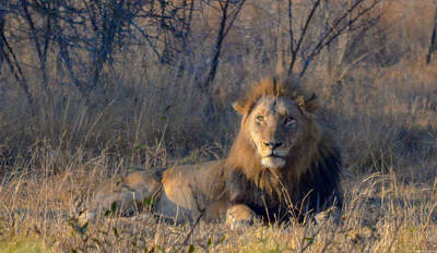 Photograph - Male Lion Resting At Kruger by Jeff at JSJ Photography