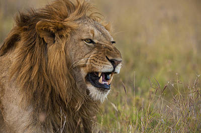 Simple Beauty In Colors Photograph - Male Lion Snarling In Ol Pejeta by Ian Cumming