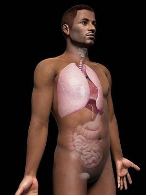 Airways Photograph - Male Lungs by Sebastian Kaulitzki