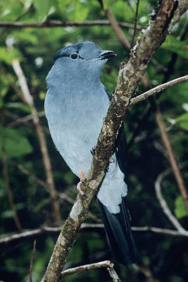 Cuckoo Wall Art - Photograph - Male Madagascar Cuckoo Roller by Tony Camacho/science Photo Library
