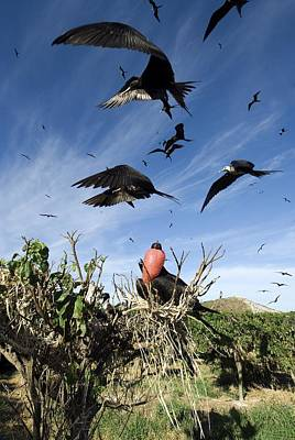 Breeding Season Photograph - Male Magnificant Frigatebird Displaying by Christopher Swann