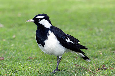 Magpies Wall Art - Photograph - Male Magpie-lark by Tony Camacho/science Photo Library