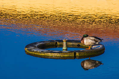 Photograph - Male Mallard Duck by Carolyn Marshall