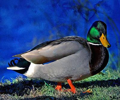 Male Mallard Duck Art Print by David Simons