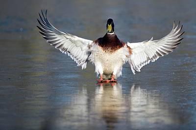 Drake Photograph - Male Mallard Landing On Water by Bildagentur-online/mcphoto-rolfes