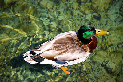 Crystal Wightman Rights Managed Images - Male Mallard Swimming Royalty-Free Image by Crystal Wightman
