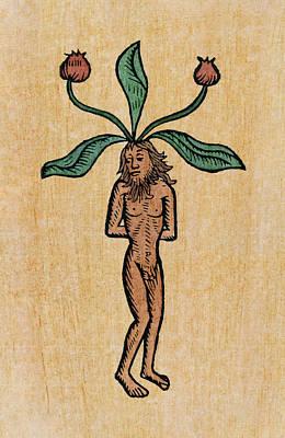 Penis Drawing - Male Mandrake by Granger