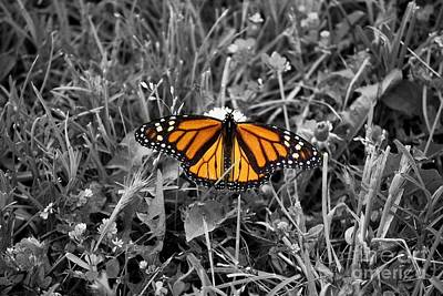 Photograph - Male Monarch by Mark McReynolds