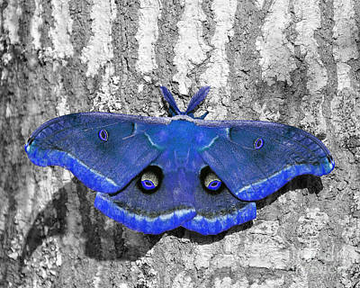 Male Moth - Brilliant Blue Art Print by Al Powell Photography USA