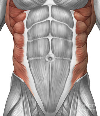 External Oblique Muscles Digital Art - Male Muscle Anatomy Of The Abdominal by Stocktrek Images