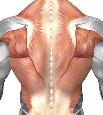 Muscular Digital Art - Male Muscle Anatomy Of The Human Back by Stocktrek Images