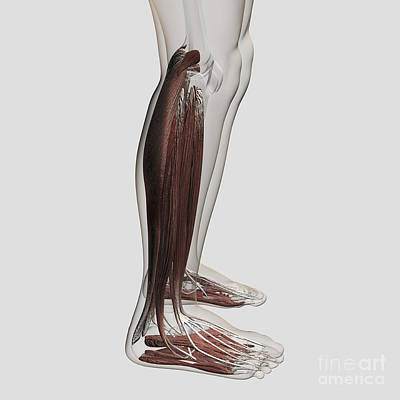 Wild Weather - Male Muscle Anatomy Of The Human Legs by Stocktrek Images